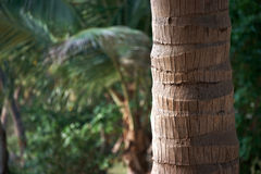 Palm tree trunk Royalty Free Stock Photos