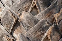 Palm tree trunk background. Atural texture Stock Image