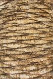 Palm tree trunk background. Natural background Royalty Free Stock Images