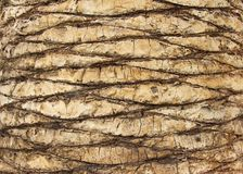 Palm tree trunk background. Spain Royalty Free Stock Photos