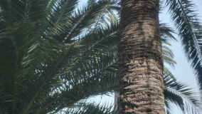 Palm Tree Trunk Bark Leaves. Medium low angle high dynamic range shallow depth of field panning tracking slider shot of a trunk of a palm tree surrounded by palm stock video footage