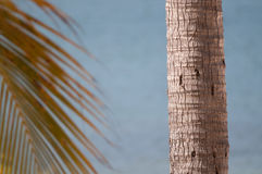 Palm tree trunk and branch Royalty Free Stock Image