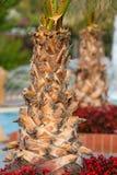 Palm tree trunk Royalty Free Stock Photos