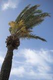 Palm tree Stock Photography