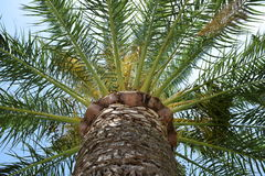 Palm tree trunk and leaves Royalty Free Stock Photos