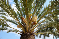 Palm tree. Trunk and leaves of a palm tree Stock Images