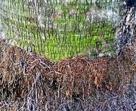 Palm Tree Trunk and Roots Royalty Free Stock Photo