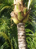 Palm Tree Trunk Stock Photography