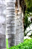 Palm tree trunks Stock Images