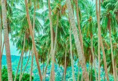 Free Palm Tree Trunks And Their Tops Royalty Free Stock Image - 150636066
