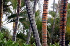 Palm tree trunks(Cocos nucifera) Stock Image