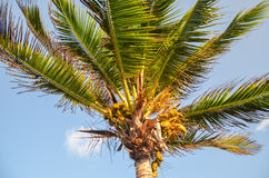 Palm tree, Tulum, Yucatan, Mexico. Details of palm tree branches Stock Photos