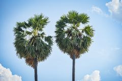 Palm tree two on blue sky and cloud. Background royalty free stock photography