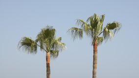 Palm tree. Two palm trees swaying in the wind. Blue sky background stock footage