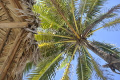 Palm tree and umbrella made of leaves. Photographed from below Royalty Free Stock Images