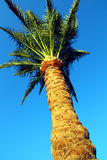 Palm tree under blue sky Royalty Free Stock Images