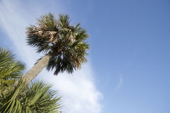 Palm tree under blue sky Royalty Free Stock Image
