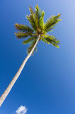 Palm tree under blue sky Stock Photography