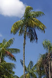 Palm tree under the blue sky with clouds Royalty Free Stock Images