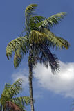Palm tree under the blue sky with clouds Stock Images
