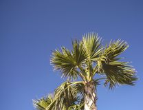 A palm tree under a blue sky. Under a blue sky a palm tree is cut out and invites us to look at it. Photo taken in Florida, U.S.A. during a trip in January 2016 royalty free stock photography