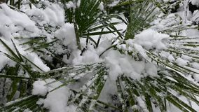 Palm tree under the snow. The snow falls on the leaves of the palm tree stock footage