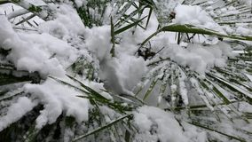 Palm tree under the snow. The snow falls on the leaves of the palm tree stock video footage
