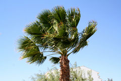 Palm tree under a strong wind Stock Images