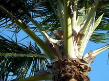 Palm Tree up close royalty free stock image