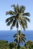 Palm Tree, Vanuatu Stock Image