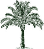 Palm tree. Vector drawing of a tropical palm tree stock illustration
