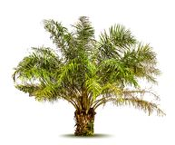 Palm tree. Vector illustration. Vector illustration of the palm tree Royalty Free Stock Photography