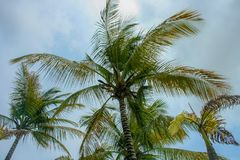 A Palm Tree in a Venezuelan Beach. A Close up Shot of Palm Tree in a Venezuelan Beach Royalty Free Stock Photos