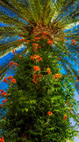 Palm tree. View from below of a palm tree on the Mediterranean coast Stock Photography