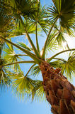 Palm tree view from bottom, sun's rays shine Royalty Free Stock Photo