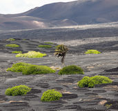 Palm tree in volcanic wineyard area La Geria in Lanzarote Royalty Free Stock Photography