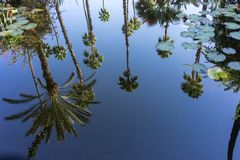 Palm tree in water reflection with water rose clear pure view stock photo