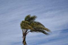 Palm tree waving in the wind against a blue sky Royalty Free Stock Images