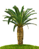 Palm tree on white Stock Photos