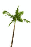 Palm tree on white Stock Image