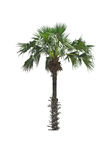 Palm tree on  white background Stock Image