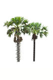 Palm tree on  white background Royalty Free Stock Images