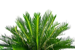 Palm tree on white background Royalty Free Stock Photos