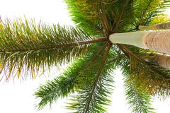 Palm tree on white background bottom view. Palm tree on white background bottom view Stock Photo