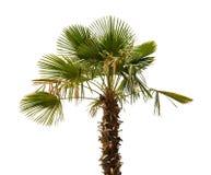 Palm tree on a white background Stock Photos
