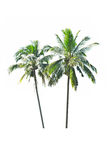 Palm tree on a white background Royalty Free Stock Image