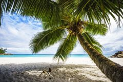 Palm tree,white sand,turquoise water at tropical beach,paradise. A palm tree,white sand,turquoise water at a beautiful tropical beach. paradise at the seychelles Royalty Free Stock Image