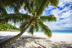 Palm tree,white sand,turquoise water at tropical beach,paradise. A palm tree,white sand,turquoise water at a beautiful tropical beach. paradise at the seychelles Stock Image
