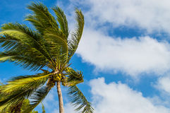 Palm tree in the wind Royalty Free Stock Images