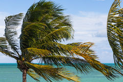 Palm tree in the wind Stock Photos